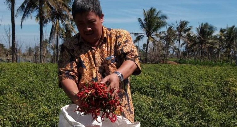Bertanam Cabai Di Lahan Berpasir 1 Pohon Mampu Panen 2 Kg