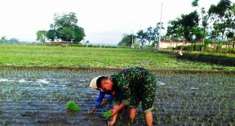 Terjun Ke Sawah Babinsa Bantu Petani Tanam Padi